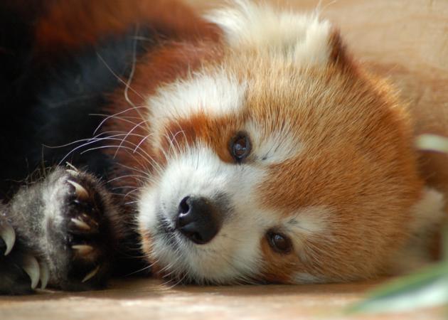 Firefox cumple 7 años y lo celebra adoptando cachorros
