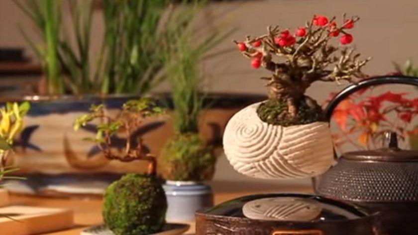 Bonsái aéreo, una planta que crece en el aire 30
