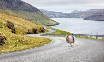 ovejas con cámara