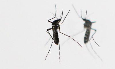 Zika y mosquitos modificados genéticamente, una posible salida 32
