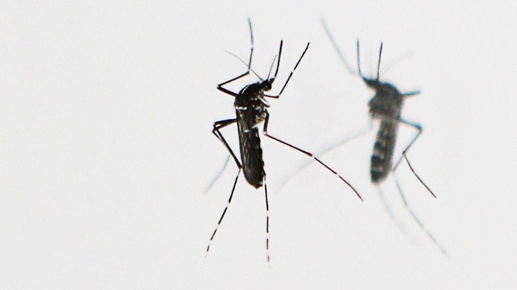 Zika y mosquitos modificados genéticamente, una posible salida 30