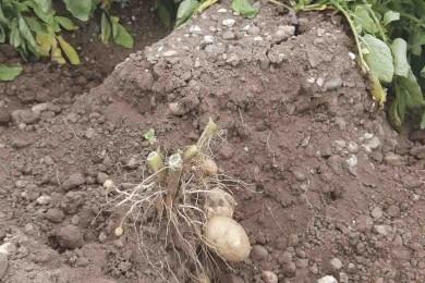 Podríamos plantar patatas en Marte, llegarían a crecer