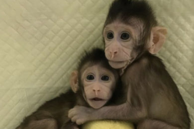 China crea los primeros monos clonados bajo la técnica de la oveja Dolly