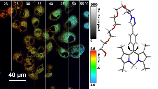 Científicos crean un nanotermómetro que mide la temperatura de las células 32