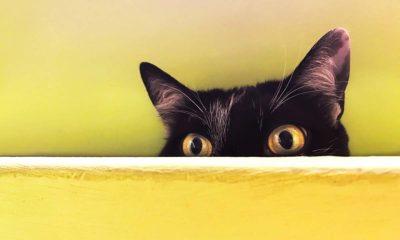 Coronavirus: un medicamento para gatos podría ser la solución